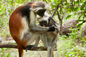 Red_colobus_Jozani_Forest_2